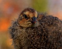 Ten days old quail, Coturnix japonica.....photographed in nature. Breed by hoby growers in Sweden. The Japanese quail, Coturnix japonica, is a species of Old stock image