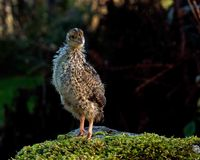 Ten days old quail, Coturnix japonica.....photographed in nature. Breed by hoby growers in Sweden. The Japanese quail, Coturnix japonica, is a species of Old royalty free stock photos