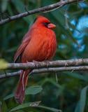 Męski Północny kardynał fotografia stock