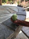 Ten gąsienica oczy i odpoczynek jego ciało z tyłu jego głowy, fotografia royalty free
