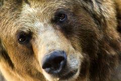 Ten grizzly niedźwiedź pauzuje dla drugi spojrzenia. Zdjęcie Royalty Free