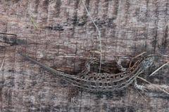 Ten jaszczurka był na mój majątkowym jeden popołudniu gdy przychodziłem do domu Obrazy Stock
