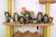 Ten kitties of the sort maine coon. Peer into one direction Royalty Free Stock Photography