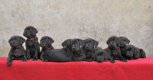 Ten labrador puppies. Ten pedigree black labrador puppies, all from the same litter Stock Images