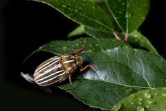 Ten-Lined June Beetle. A ten-lined June beetle, also known as the watermelon beetle, is a scarab beetle, living in the western United States and Canada. The Stock Photos