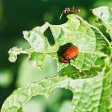 Ten-lined potato beetle larva eating potatoes royalty free stock photography