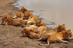Ten Lion cubs in Serengeti National Park Royalty Free Stock Image