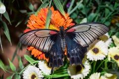 Ten motyl swój imię Papilio maackii Menetries Zdjęcia Stock