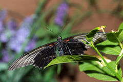 Ten motyl swój imię Papilio maackii Menetries Zdjęcia Royalty Free