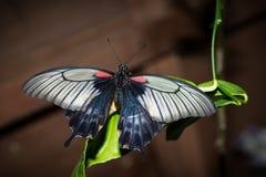 Ten motyl swój imię Papilio maackii Menetries Obraz Royalty Free