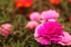 Ten o`clock flowers-Portulaca grandiflora- eleven o`clock flowers. Portulaca grandiflora- eleven o`clock- ten o`clock gardening red and purple flowers with small Stock Image