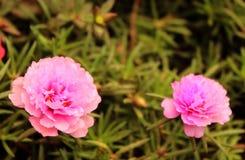 Ten o`clock flowers-Portulaca grandiflora- eleven o`clock flowers. Portulaca grandiflora- eleven o`clock- ten o`clock gardening purple flowers with small leaves Royalty Free Stock Photos