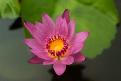 Ten piękny lub lotosowy kwiat waterlily prawimy komplementy bogatymi kolorami głęboka błękitne wody powierzchnia zdjęcie royalty free