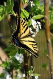 Ten piękny Swallowtail motyl cieszy się karmić na wiosny okwitnięciu na kwiatonośnym bonkrety drzewie fotografia stock