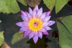 Ten piękny lub lotosowy kwiat waterlily Zdjęcia Royalty Free