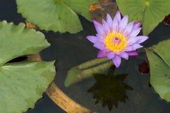 Ten piękny lub lotosowy kwiat waterlily Obraz Royalty Free