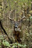 Ten Point Buck. In the woods royalty free stock photo