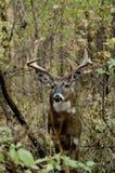 Ten Point Buck royalty free stock photo