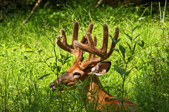 Ten Point Buck in Velvet Royalty Free Stock Photos