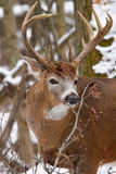 Whitetail Deer Buck During Fall Rut in Snow Royalty Free Stock Photography