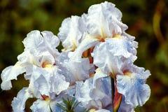 Ten popularny irys nigdy rozczarowywa z swój dużymi, białymi kwiatami stawia na powabnym eksponacie w wiośnie i spadku dwa razy w obrazy stock