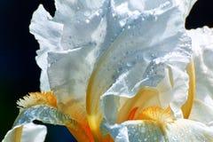 Ten popularny irys nigdy rozczarowywa z swój dużymi, białymi kwiatami stawia na powabnym eksponacie w wiośnie i spadku dwa razy w fotografia stock