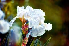 Ten popularny irys nigdy rozczarowywa z swój dużymi, białymi kwiatami stawia na powabnym eksponacie w wiośnie i spadku dwa razy w obrazy royalty free