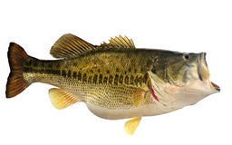 Ten Pound Largemouth Bass Isolated Stock Image