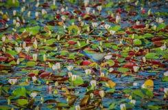 Purpurowy Gallinule Miesza wewnątrz z bagnem zdjęcie stock