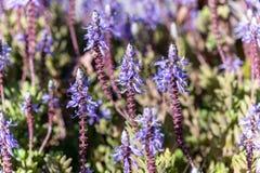 Ten roślina dzwoni Plectranthus ornatus obraz royalty free
