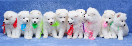 Ten Samoyed dog puppies. Ten fluffy Russian Samoyed Laika (or Bjelkier) puppies sitting in a row Stock Photos