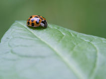 Ten-spotted ladybird - Adalia decempunctata Stock Photo
