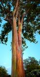 Hawajskiej tęczy Eukaliptusowy drzewo zdjęcia royalty free