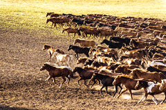 Ten thousand steeds gallop Stock Images