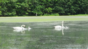 Ten Trumpeter Swans Feeding on a Pond. Two adults and eight cygnets feed on aquatic plants on a small pond stock footage