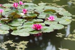 Ten waterlilies lub lotuses kwiaty nawadniają nawierzchniowy Botanicznego Zdjęcia Royalty Free