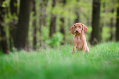 Ten week old puppy of vizsla dog in the forrest in spring time Stock Images