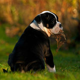 Ten weeks old female puppy Old English Bulldog. Ten weeks old tricolor female puppy Old English Bulldog Royalty Free Stock Photography