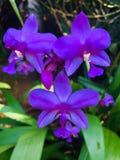 Ten wizerunku Naturel okid dobry kwiat w sri lance zdjęcia royalty free