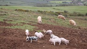 Ten young baby piglets playing and jumping with three sows in a field and moving towards the camera stock video footage