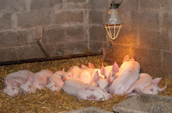 Ten young pigs lie in the barn. Stock Images