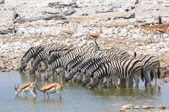 Ten zebras springboks waterhole, Etosha, Namibia. Zebras and springboks are drinking water in a waterhole in Okaukuejo, Etosha, Namibia Royalty Free Stock Image