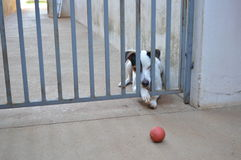 Tenacious dog. Jack Russel trying to catch his ball Stock Photo