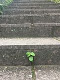 Tenacious leaves. Growing from the crevices of the stone steps, admire the greatness of the Creator Stock Photo