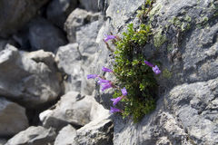 Tenacious plants. Very hardy, tenacious plants growing out of an old lava flow Royalty Free Stock Photos