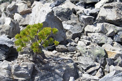 Tenacious plants. Very hardy, tenacious plants growing out of an old lava flow Stock Photo