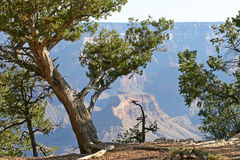 Tenacious Trees of the Grand Canyon Royalty Free Stock Image