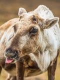 Tenaglie della renna fuori fotografie stock libere da diritti