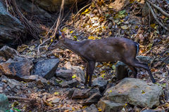Tenasserim muntjac (Muntiacus feae) Royalty Free Stock Photo