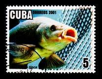 Tencas (tinca) del Tinca, serie de la acuicultura, circa 2001 Imagen de archivo libre de regalías